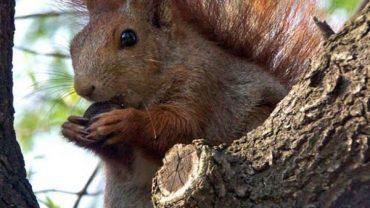 L'écureuil roux est de retour au Portugal