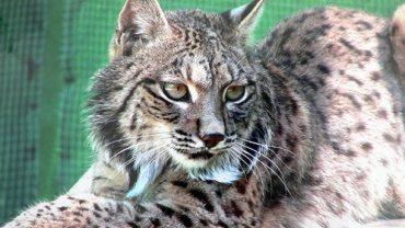 Lynx de l'Algarve en discussion