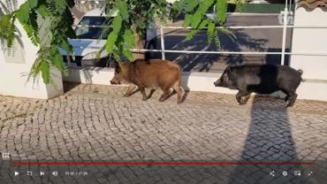 Des cochons se promènent dans les rues d'Albufeira