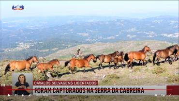 Des chevaux sauvages lâchés dans le « parc naturel » de Sintra