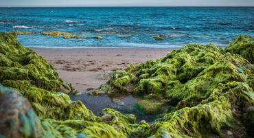 Des chercheurs appellent les citoyens à aider à étudier les algues envahissantes sur les plages de l'Algarve