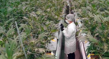 Une entreprise de l'Algarve va cultiver du cannabis à des fins médicales à Castro Marim