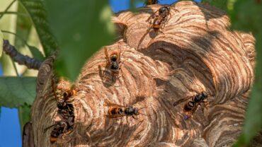 Des frelons asiatiques attaquent des employés municipaux qui tentent de retirer des «pommes de pin géantes» d'un arbre à Coimbra