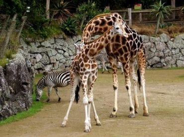 A Lisbonne, une girafe se tue dans une fosse à cause d'un visiteur et laisse orpheline sa petite de six mois