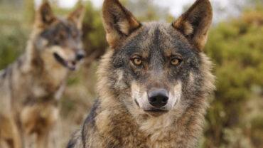 Le loup ibérique sous une nouvelle menace : la chasse au sanglier