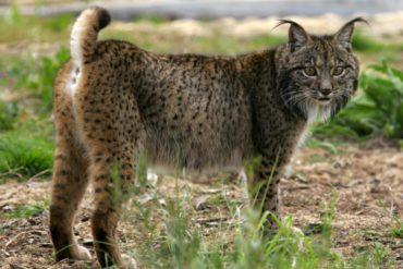 Un lynx ibérique renversé par une voiture dans l'Alentejo